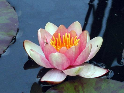 Wasserpflanzen Seerose